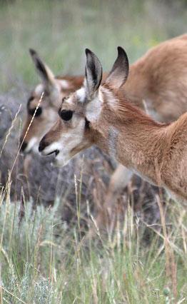american-antelope-prairie-grazers
