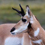 ted-baker-wild-game-antelope-pronghorn